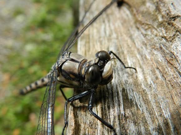dragon-fly-e1529011343228
