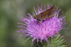 Skipper on Thistle - Randy Bock