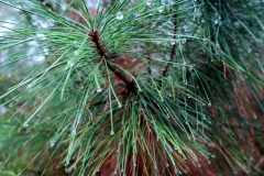 Raindrops on  Loblolly Pine - Pat French