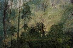 Pines aloft at dawn - Ralph LaForge